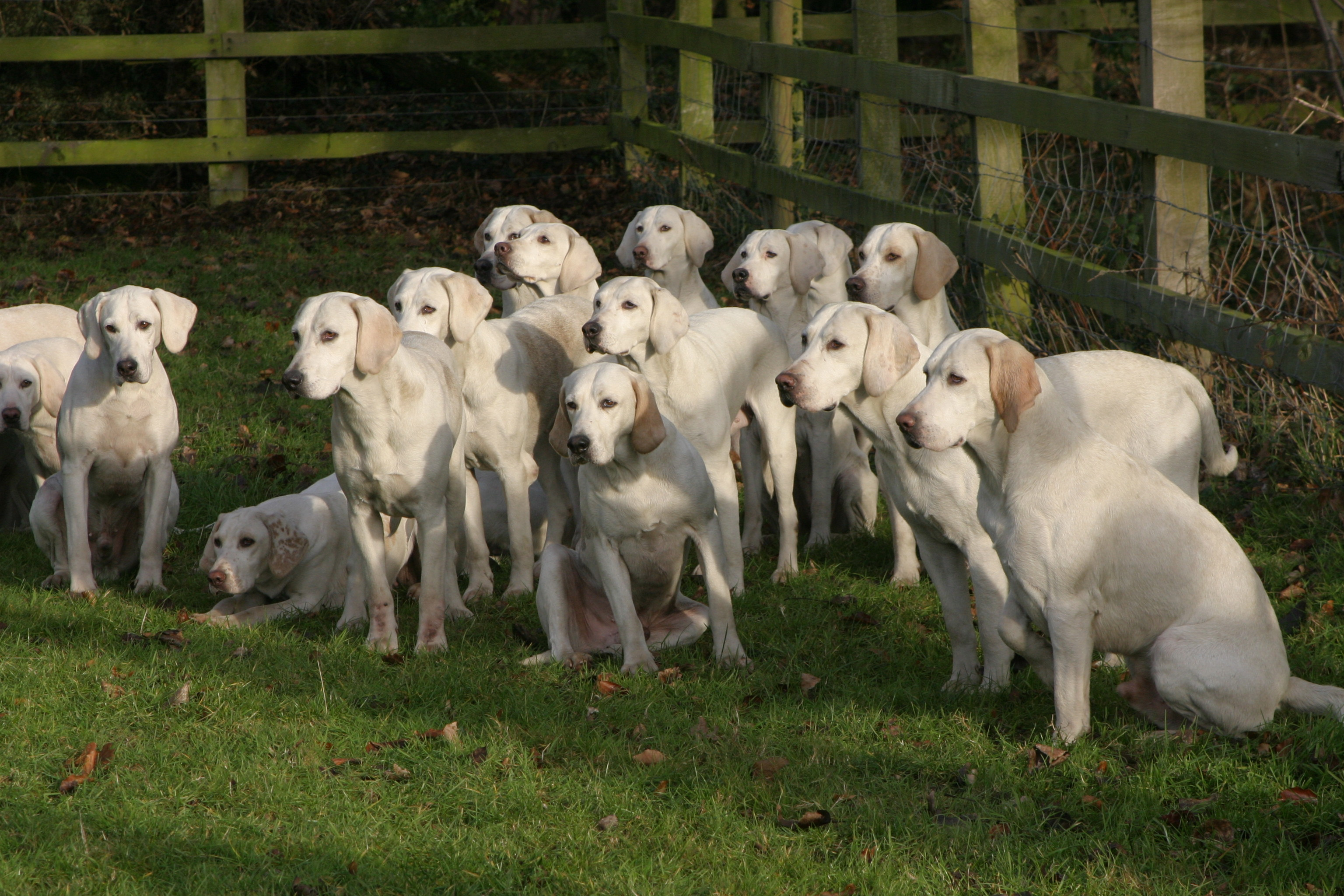 hunting with harriers by karen davison white for the love of