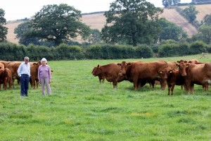 Richard and Di with some of their South Devon cows and calves.