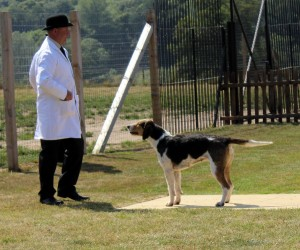 Gary Thorpe showing hounds at their Puppy Show