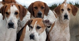 French hound faces
