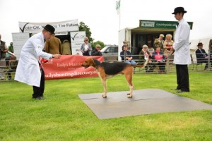 Percy Porrick, winner Single Old English Unentered Dog Hound