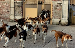 The Belvoir Hounds leaving kennels