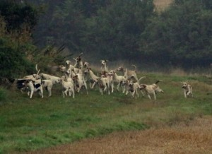 The Cottesmore Hounds in full cry