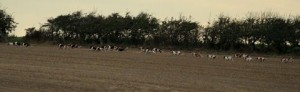 The East Lincs Bassets Flying on from their Meet at the South Wold Kennels