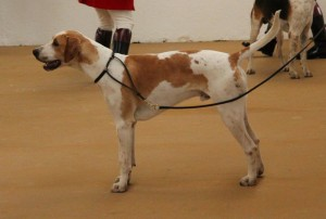 Grove and Rufford Broker, Reserve Champion Unentered Dog Hound Peterborough 2015
